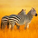 The Zebra MOD Unlimited Money for android